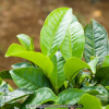 The Cancer Fighting Polyphenols Found in Tea Leaves