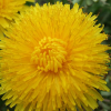Dandelion – More Than Just a Common Weed