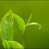 Historical Health Benefits of Tea