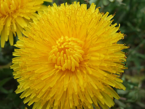 dandelion-flower