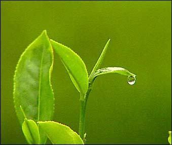 green-tea-benefits-leaves